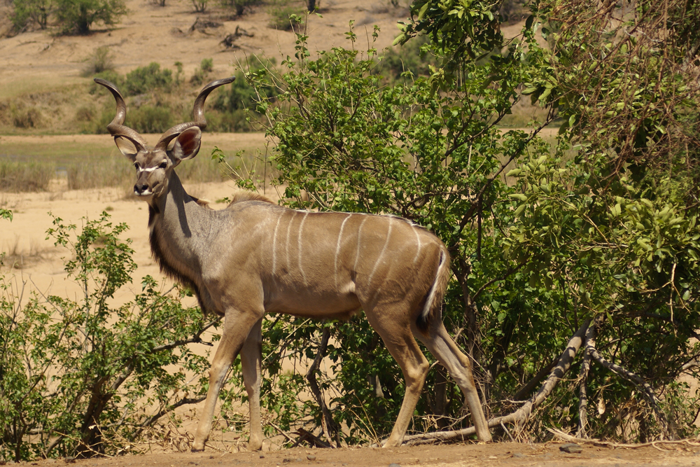 kudu-safari