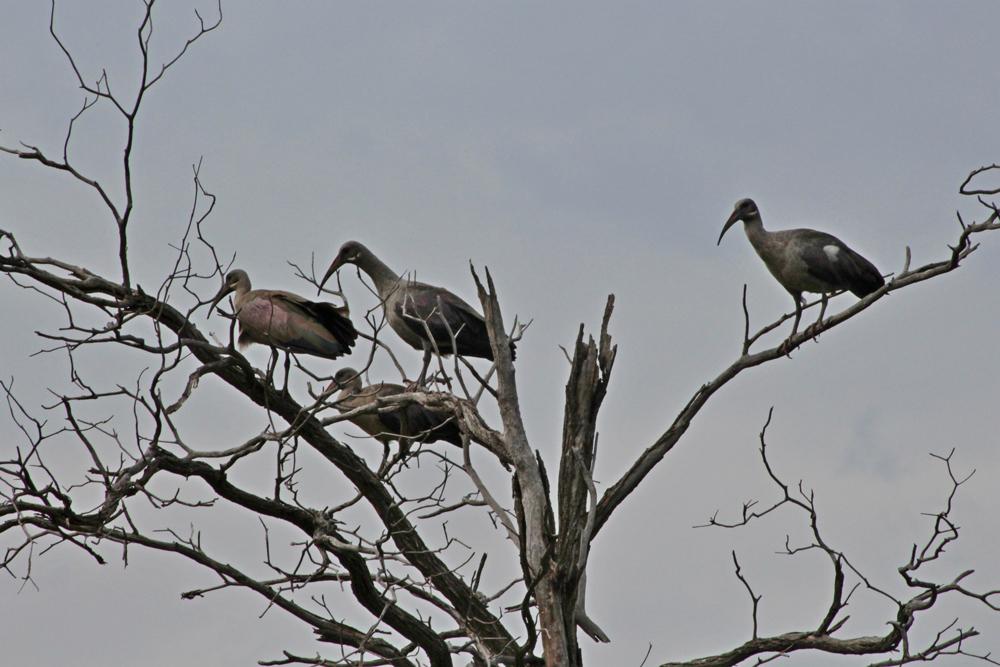 hadida-ibis